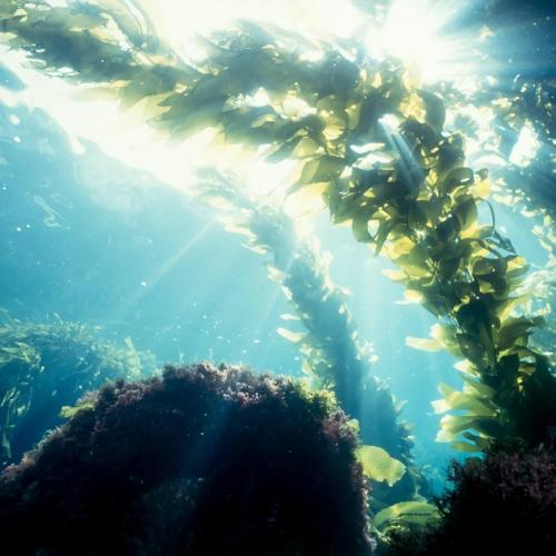 Youthful algae